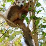 1. Crowned Lemur