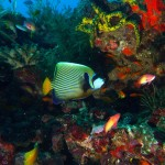 1. Emperor Angelfish