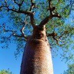 11. Baobab