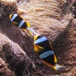 11.-Madagascar-Anemone-fish