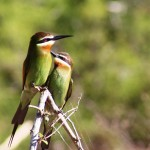 12. Madagascar Bee-eaters