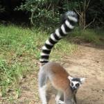 17. Ringtailed Lemur
