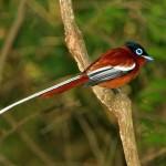 18. Madagascar Paradise Flycatcher
