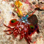 19. Peacock Mantis Shrimp