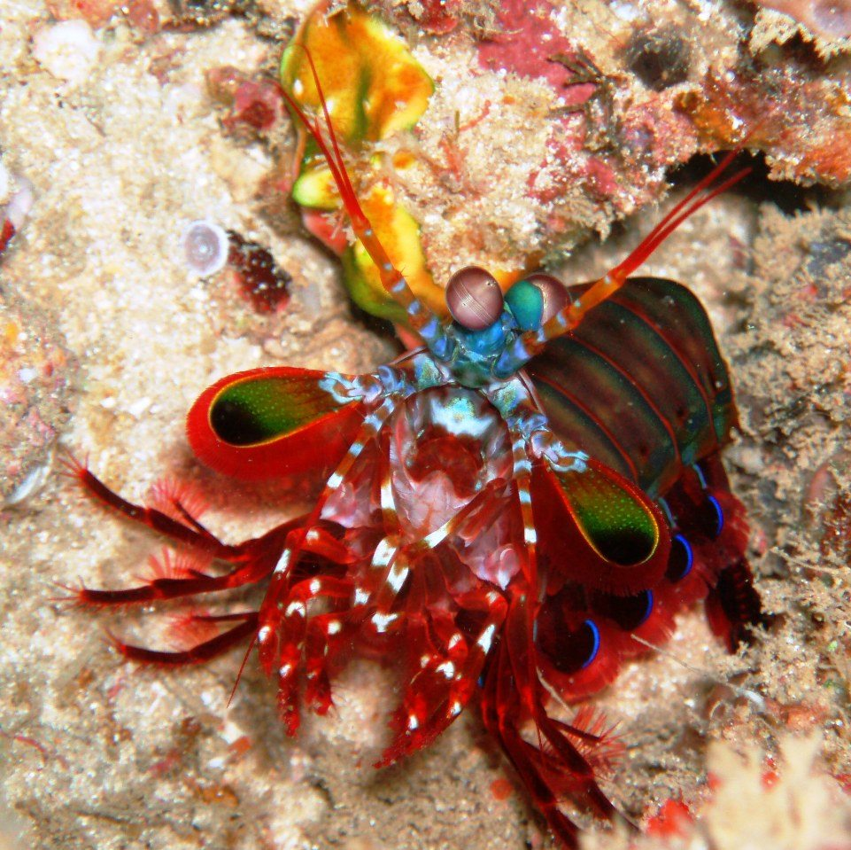 mantis shrimp Mantis shrimps are the tiny, colorful badasses of the sea not only do they have  an unparalleled physical prowess, but they have four times as many types c.