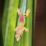 2. Madagascar Day Gecko
