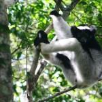 5. Indri Lemur