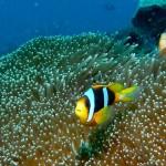 8. Madagascar Anemonefish