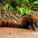 8. Ring-tailed Mongoose
