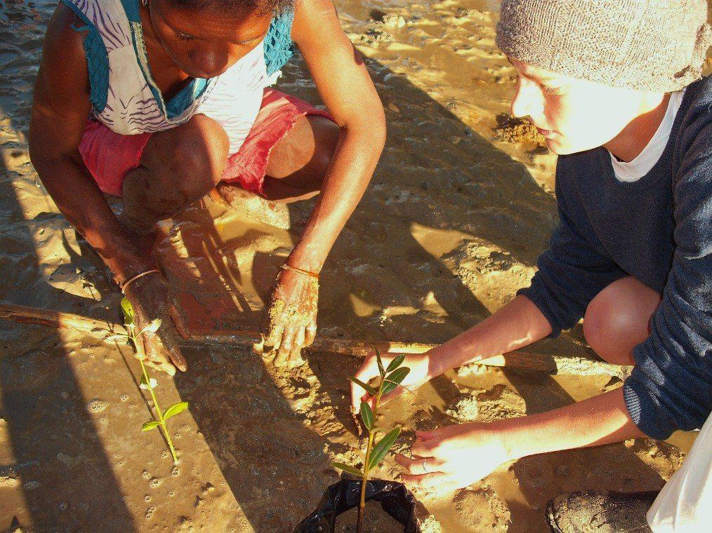Mangrove replantation