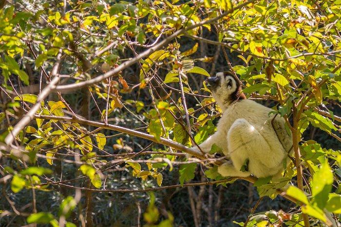 Isalo lemur