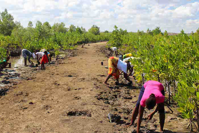 Planting Propagules on World Mangrove Day