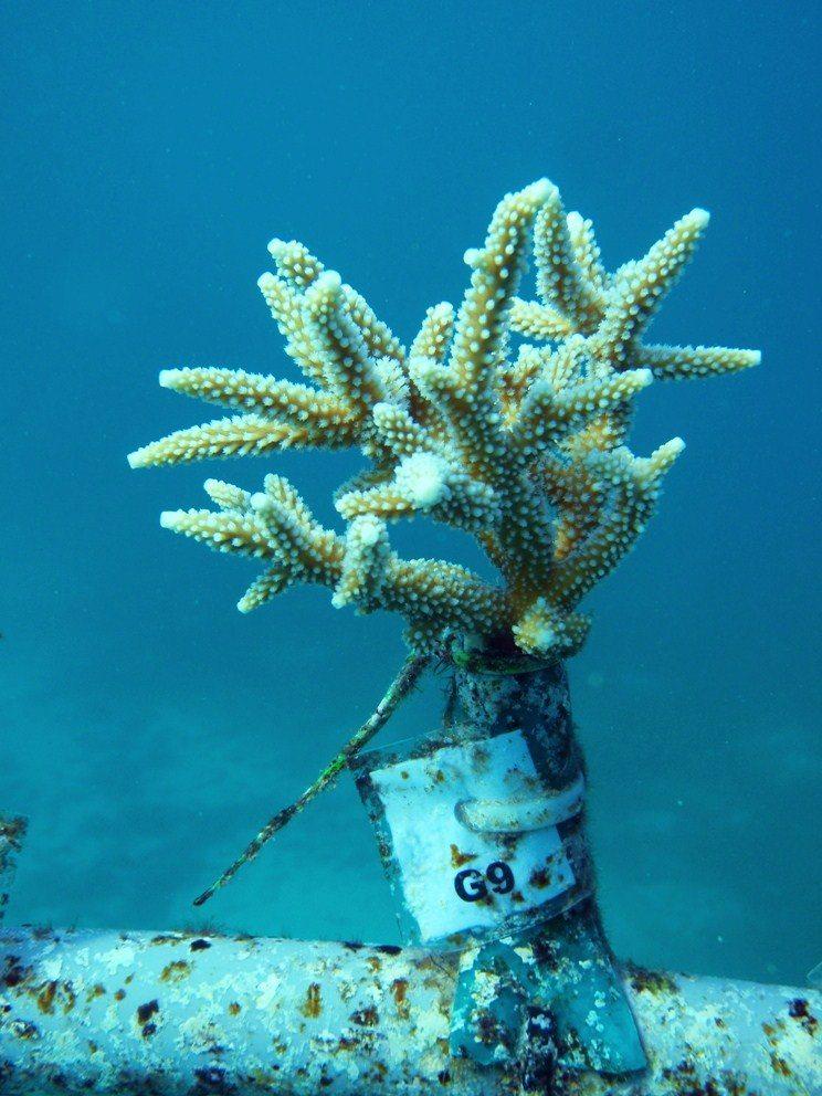 coral in nursery