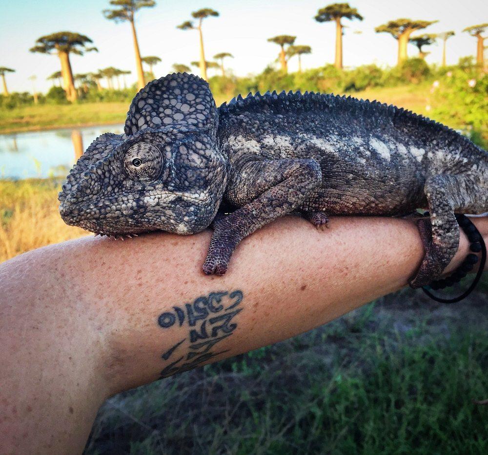 chameleon Morondava
