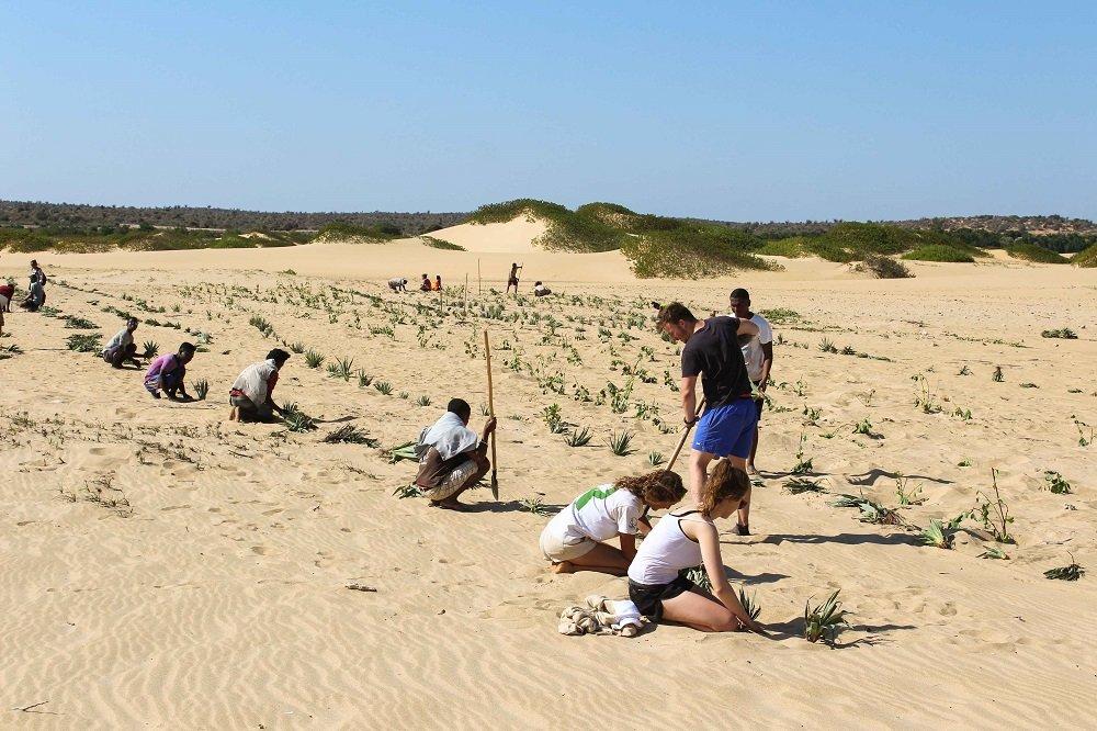 dune planting