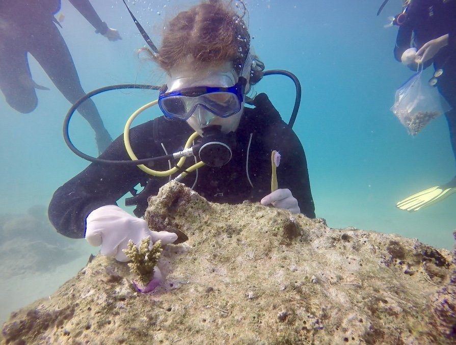 coral transplantation
