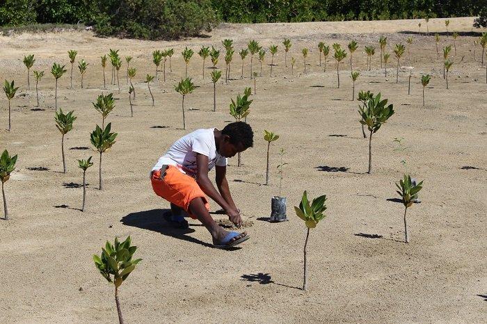 mangrove replanting