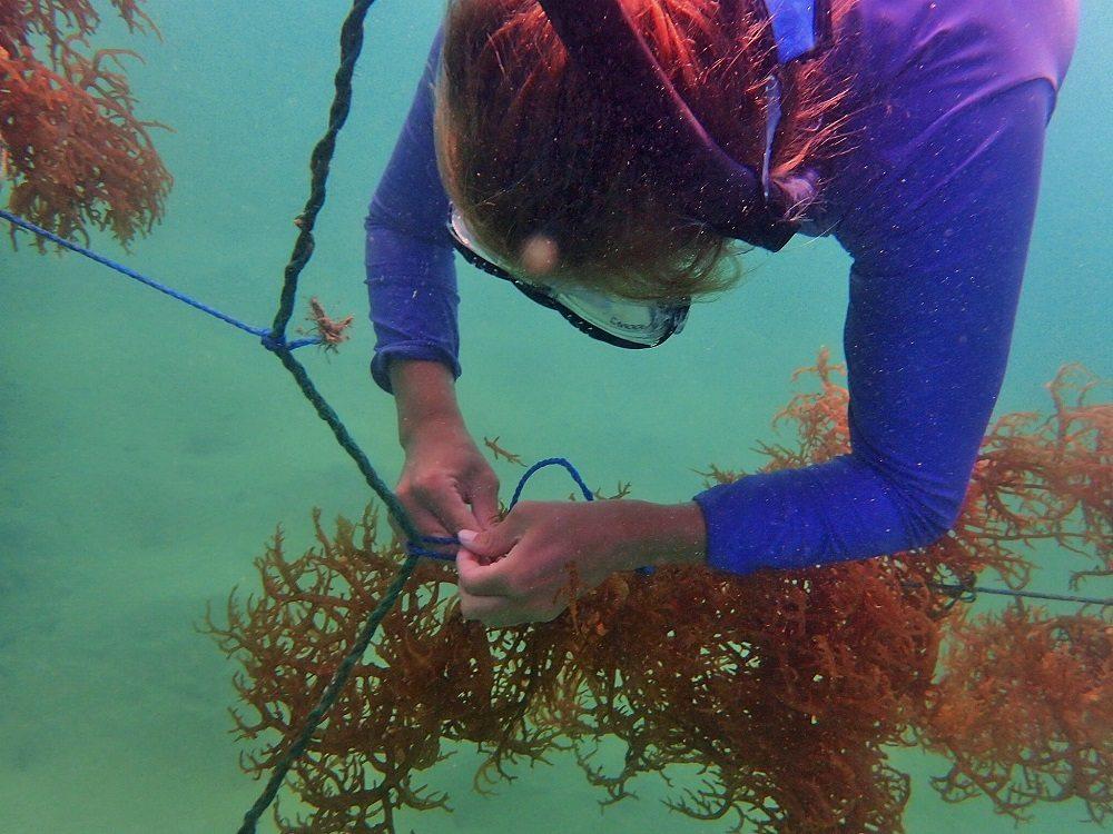 tending to seaweed lines